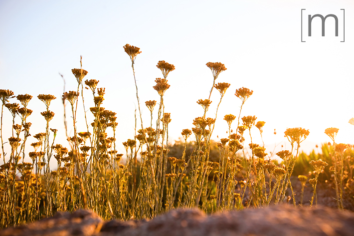 a travel photo of yellow flowers in santorini greece