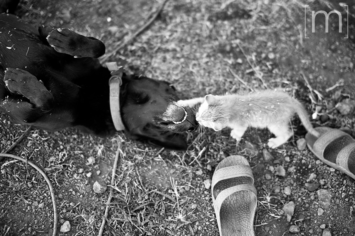 a travel photo of the big island cute dog and cat fighting in hawaii