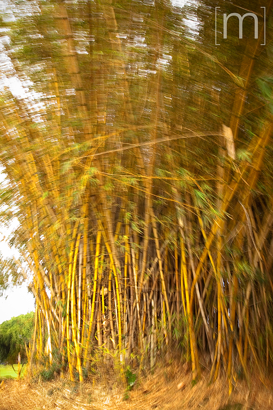 a travel photo of bamboo in hilo hawaii