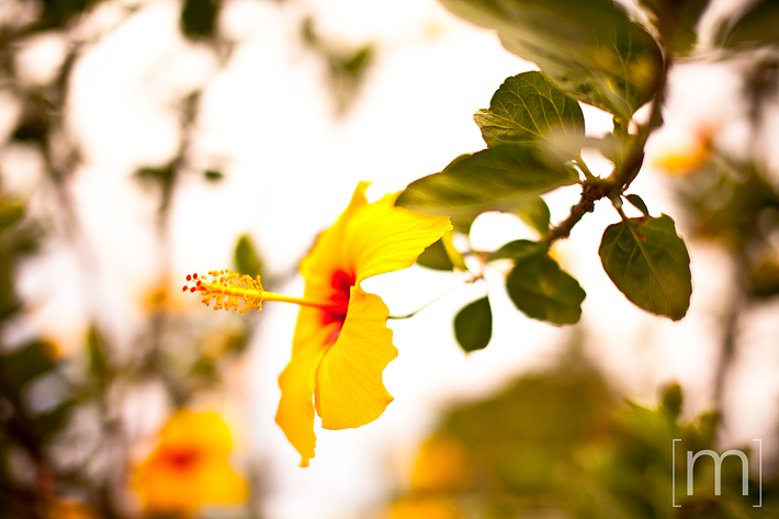 a travel photo of a yellow flower on the big island in hawaii