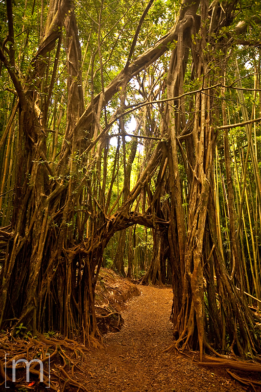 a travel photo of a cool tree in oahu hawaii