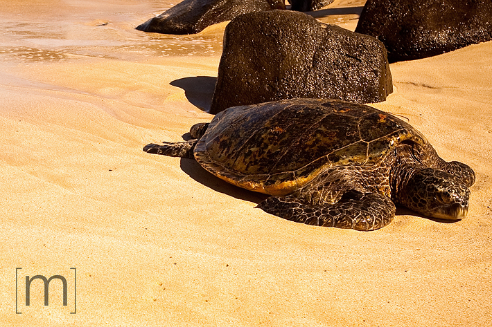 a travel photo of a sea turtle on the northshore in oahu hawaii