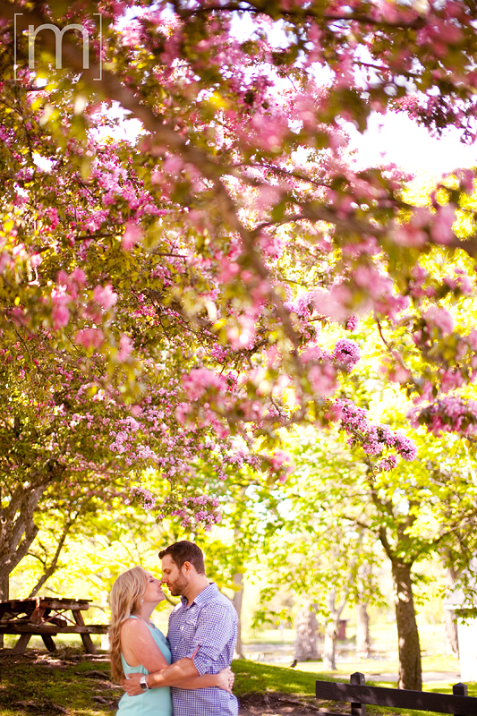 a photo of a couple snuggling under blossoms at a spring engagement shoot on toronto island
